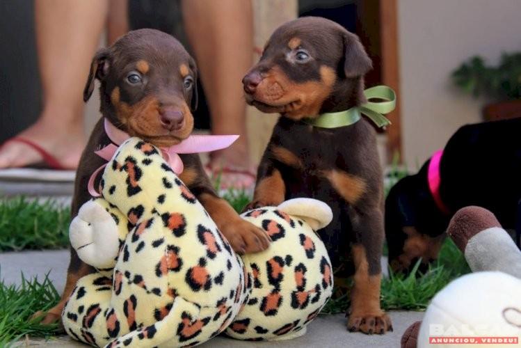 Lindos filhotes de doberman cães de ótima procedência